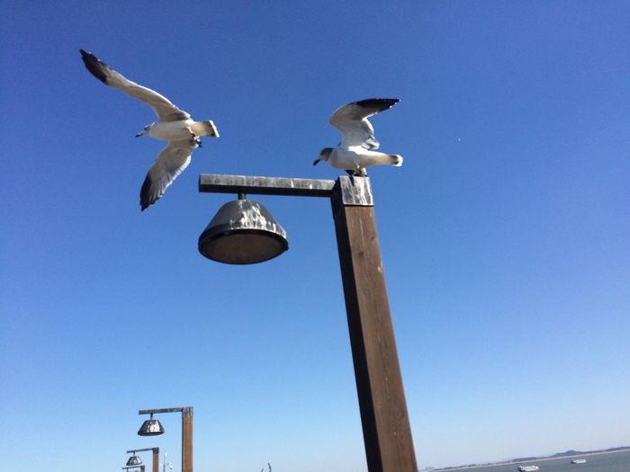 날자. 이제... Common Gull Seagull Korea Choongnam Flying