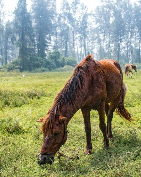 A grazing horse Quite India Cloudy Travel Mumbai Horse Field EyeEm Selects One Animal Horse Animal Themes Domestic Animals Tree Mammal Standing Grass Livestock No People Nature Day Field Grazing Outdoors Full Length Beauty In Nature