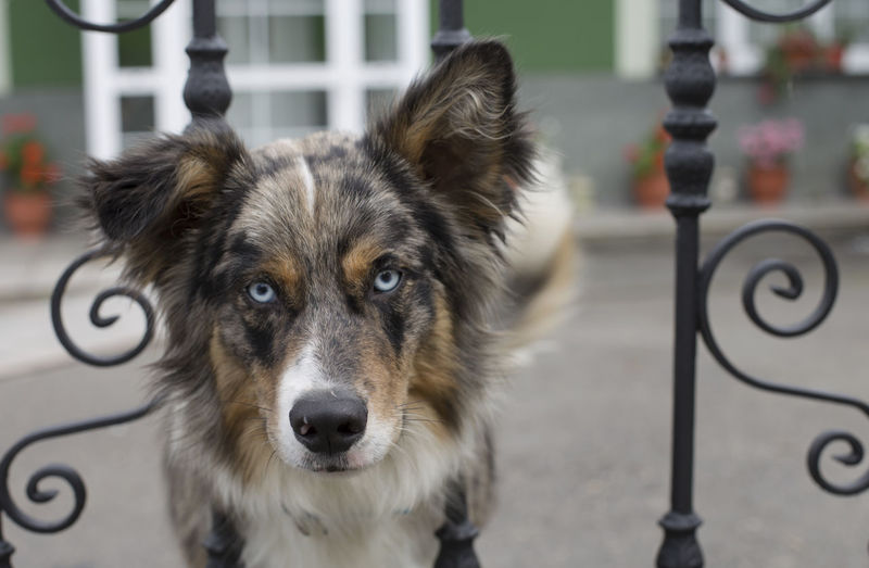 A blue merle border collie Asturias Blue Merle Blue Eyes Border Collie Horizontal Rural SPAIN Canine Close-up Cute Day Dog Domestic Fence Looking At Camera Mammal No People One Animal Pets Pillarno Portrait Spring Village