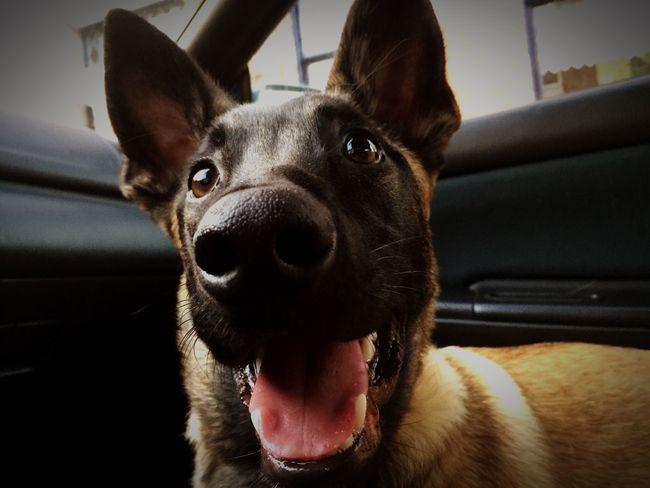 I Love My Dog Belgian Malinois Puppy 6 Months