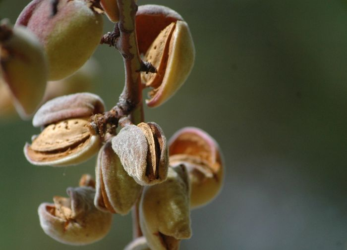 Close-up of almonds on branch