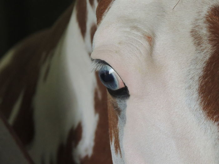 Apha Blue Blue Eyes Eye Eye Em Nature Lover Horse Horses Paint