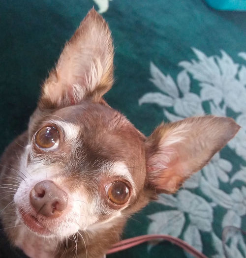 No Flash Live Oak Animal Hospital Chihuahuas Of Eyeem Spoiled Dog Chihuahualife Not A Care In The World My Dogs Are Cooler Than Your Kids Rescued ❤ My Heart ❤ Bald Headshot Dog It's All About Me! Odie Cu-Jose