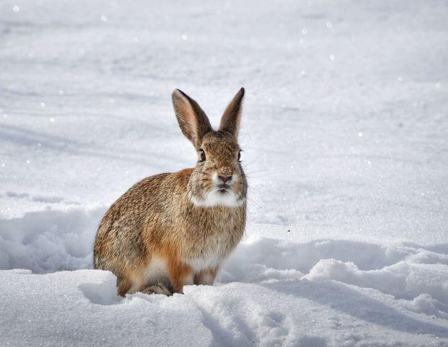 Rabbit on snow covered land