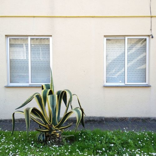 Agave plant in front of building