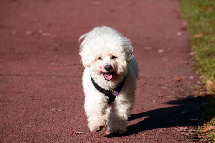 Bichon Frise taking a stroll Canine Love :) Dogs Dogs Of EyeEm Bichon Frise Bichonfrise Canine Canine Photography Dog Dogs Life Dogslife No People