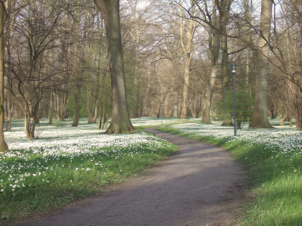 Forest full of Wood Anemone Anemone Anemone Nemorosa Buschwindröschen Day Flowers Footpath Forest Forest Path Landscape Landscape #Nature #photography Nature No People Outdoors Path Pathway Scenics Spring Spring Flowers Spring Time Springtime Tranquility Tree Tree Trunk Wood Anemone Wood Anemones