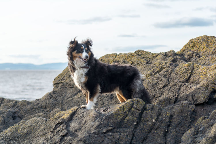 Animal Themes Beauty In Nature Day Dog Domestic Animals Mammal Nature No People One Animal Outdoors Pets Rock - Object Sheepdog Sheltie Shetland Sheepdog Sky Pet Portraits