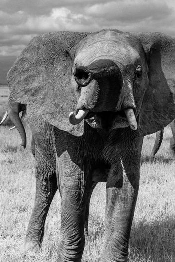 Young elephant sticking it's nose into the air at the camera, smelling around. Black and white photo of wild african elephant Adorable Africa African Beauty Animal Head  Animal Themes Animals In The Wild Baby Animals Black & White Close-up Cute Elephant Focus On Foreground FUNNY ANIMALS Funny Faces Kenya Mammal Nature Nature Photography Nature's Diversities Nature_collection Outdoors Smelling Wildernessculture Wildlife & Nature Wildlife Photography