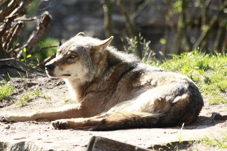 Een eenzame wolf Wolf Dierenfotografie Dier Dieren Nature's Diversities