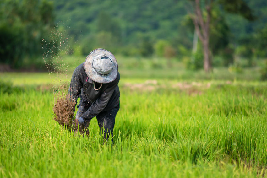 Agriculture Asian Culture Country Farmer Green Hard Work Nature Paddy Planting Rice Paddy Working Country Life Countryside Culture Farmer's Life Food Landscape Lifestyles Muddy Nature Paddy Field People Plant Rainy Season Rice Growth