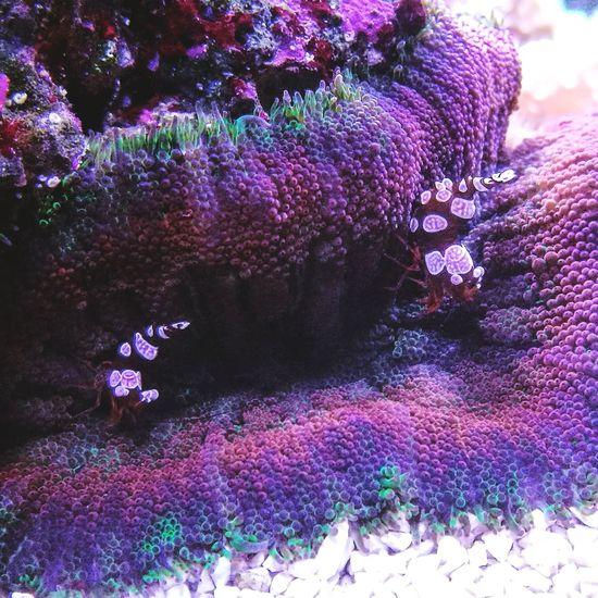#sexyshrimp #shrimp #marinetank #reef #reeftank #aquarium #fishkeeper #coral #anemone #fish #aquariumphotographer #colouroflife Purple Multi Colored Outdoors No People Growth
