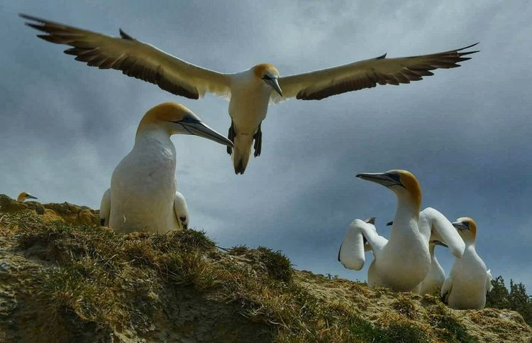 Gannets Colony, Cape Kiddnapers, Hawkes Bay, New Zealand #landscape #nature #photography #travelphotography #travel #likeforlike #likemyphoto #qlikemyphotos #like4like #likemypic #likeback #ilikeback #10likes #50likes #100likes #20likes #likere #Adventure #Adventure Club #happy #hiking #discovery #discovering #explore #nationalgeographic #ptaki Animal Themes Spread Wings Flying Colony Sky