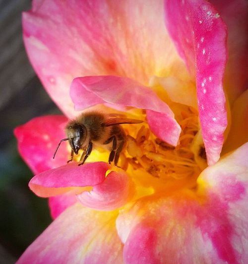 Love My Bees Macrophotography Macro Photography Macro Busy Bee Nature At Its Best April2015 Bee And Flower Save The Bees Flowers, Nature And Beauty Californiathroughmylens Spring2016 EyeEm Gallery