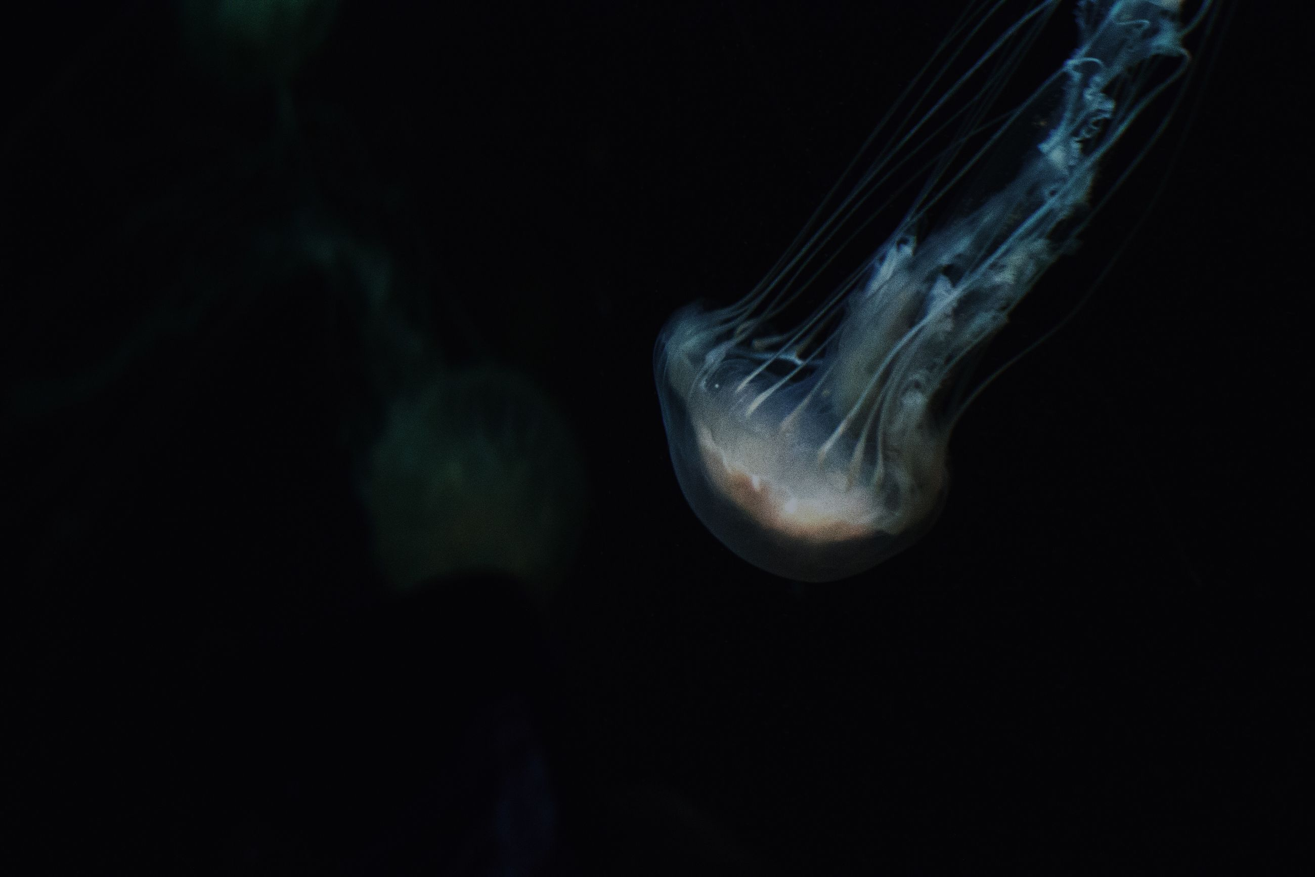 black background, studio shot, night, close-up, copy space, dark, sea life, underwater, animal themes, jellyfish, indoors, wildlife, no people, animals in the wild, undersea, nature, single object, one animal, glowing, beauty in nature
