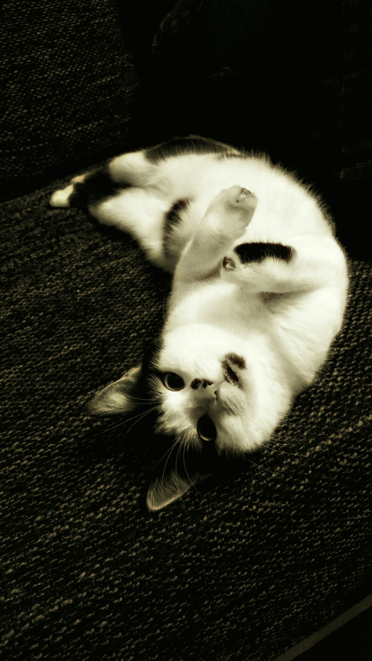 animal themes, one animal, pets, domestic animals, mammal, domestic cat, cat, high angle view, feline, relaxation, sitting, whisker, lying down, full length, close-up, no people, street, indoors, zoology, resting