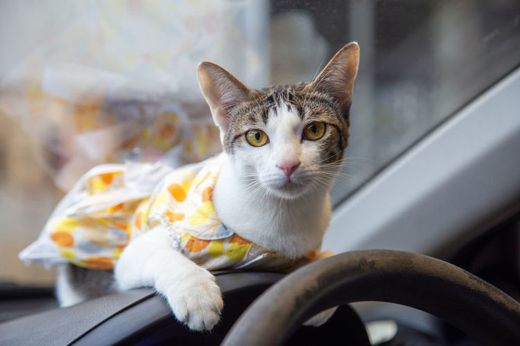 Adorable cat wearing a dress sitting on console car