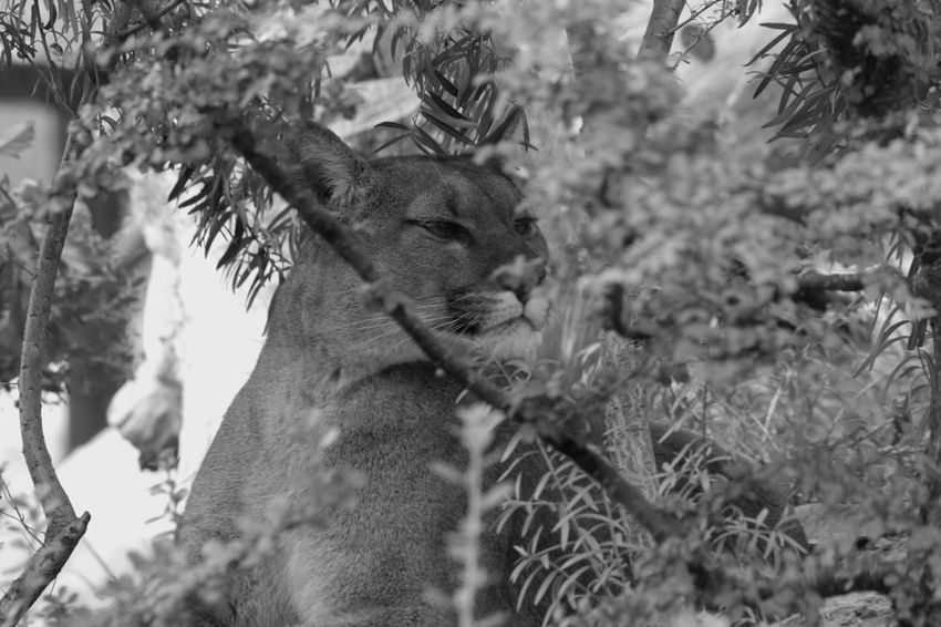 Blackandwhite Puma Cougar Zoodevincennes Photooftheday Follow Photography Animals Zoo Noiretblanc