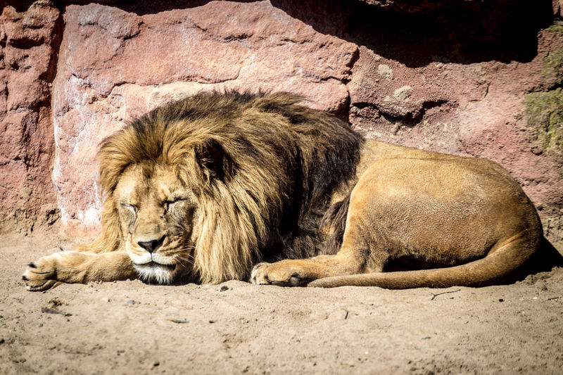 Side view of lion in zoo