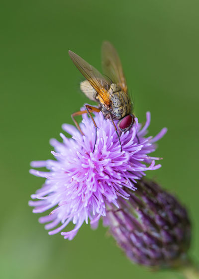 Fly sitting on thistle Beauty In Nature Close-up Flower Flower Head Fly Insect Macro Macro Photography Nature Nature Photography Pollination Purple Selective Focus Thistle Wildlife Showcase July
