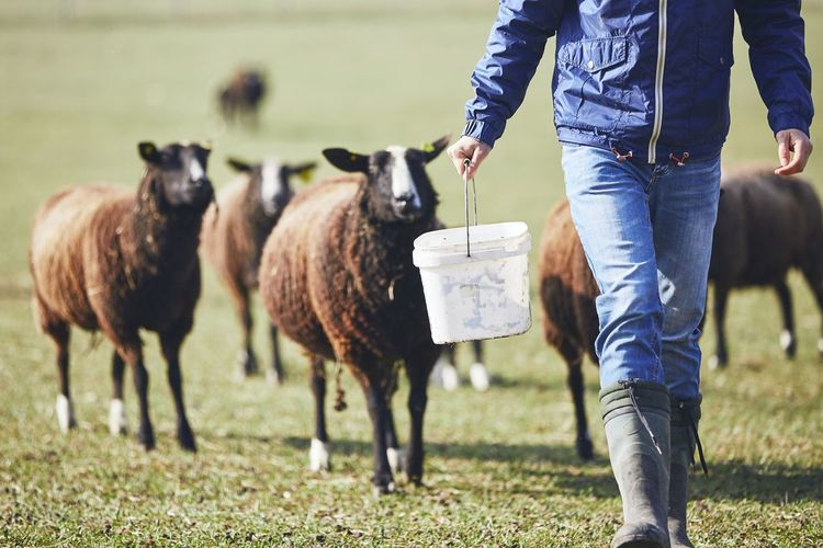 Low Section Of Man With Bucket Walking Against Sheep On Field