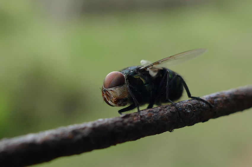 Fly Animal Themes Animal Wildlife Animals In The Wild Close-up Day Focus On Foreground Green Color Insect Nature No People One Animal Outdoors