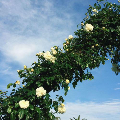 sky & rose Sky Bluesky Rosé 浜寺公園 バラ 薔薇