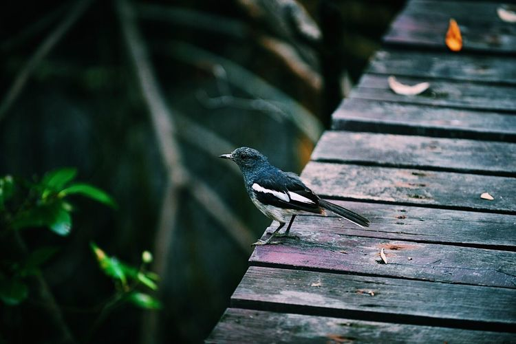🕊🕊🕊 Animal Animal Themes Animals In The Wild Vertebrate Animal Wildlife One Animal Bird Wood - Material Day Focus On Foreground Perching No People Outdoors Plank Full Length Nature Wood Side View Staircase Close-up