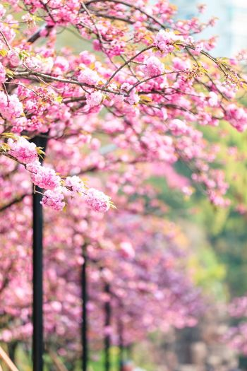 Flower Pink Color Flowering Plant Plant Freshness Fragility Tree Growth Blossom Springtime Vulnerability  Beauty In Nature Branch Nature Cherry Blossom No People Day Botany Close-up Selective Focus