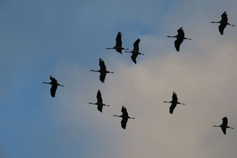 Cranes Island Rügen Animal Animal Themes Animal Wildlife Animals In The Wild Beauty In Nature Bird Day Flying Group Of Animals Large Group Of Animals No People Silhouette Sky Spread Wings