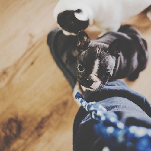 Pet Portraits EyeEm Selects Dog Pets Domestic Animals One Animal Animal Animal Themes Mammal Puppy Indoors  No People Day Close-up french bulldog