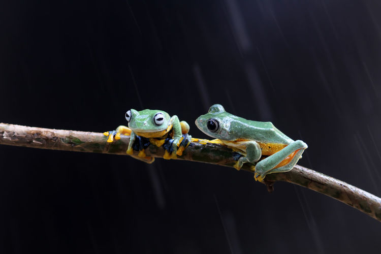 Wallace's flying frog, tree frog on a branch Animal Themes Animal Animal Wildlife One Animal Vertebrate Animals In The Wild Amphibian No People Close-up Frog Reptile Nature Animal Body Part Black Background Outdoors Tree Branch Animal Head  Animal Eye