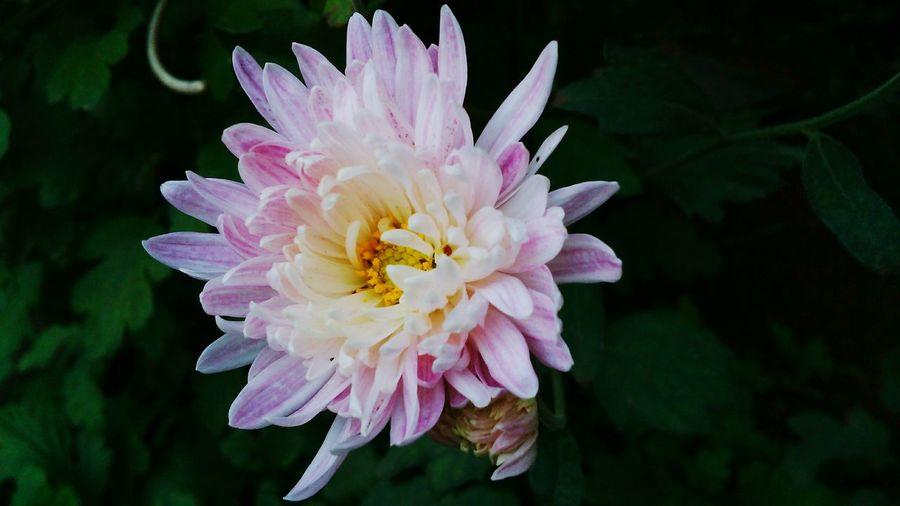 Chrysanthemum Flower Head Freshness Close-up First Eyeem Photo