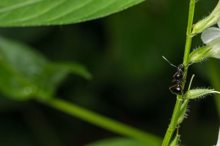 Black ants Animal Themes Animal Wildlife Animals In The Wild Close-up Day Grasshopper Green Color Growth Insect Leaf Nature No People One Animal Outdoors Plant