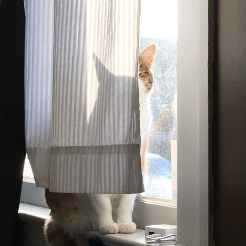 Sill Ledge Purr Silhouette Peekaboo Pet Feline Cat EyeEm Selects Curtain Indoors  Window One Person Domestic Life Home Interior Looking Through Window Bedroom Domestic Room Mammal Drapes