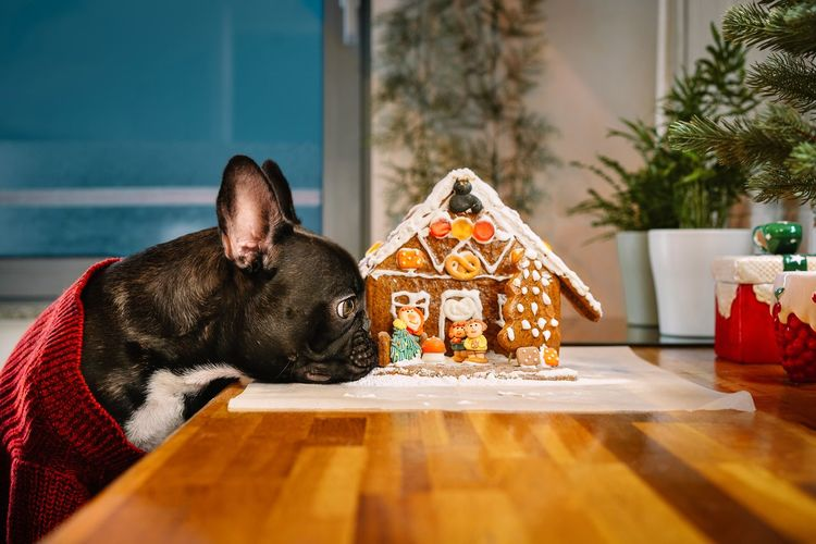 View of a french bulldog dog with gingerbread house on kitchen counter at home