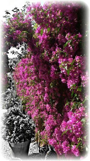 Buganvilla Flowers SPAIN EyeEm Nature Lover EyeEm Best Edits