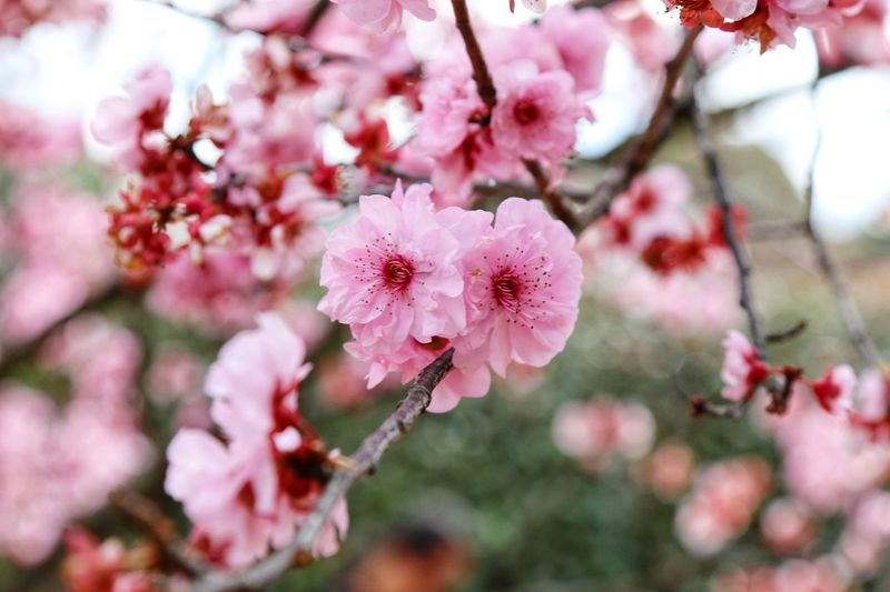 Cherry blossoms bloom in the garden. Beautiful Flower, Natural Color, Thebestseller Flower Growth Fragility Beauty In Nature Pink Color Freshness Nature Flower Head Blooming Focus On Foreground Blossom Tree Petal Day Close-up Outdoors Springtime No People Branch
