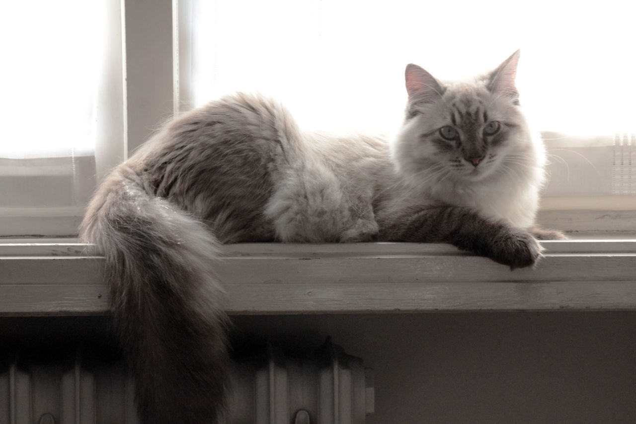 domestic cat, pets, feline, cat, domestic animals, mammal, animal themes, portrait, relaxation, looking at camera, indoors, no people, friendship, day