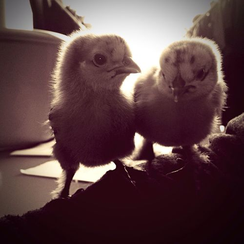 Chiken Chik Cute♡ Animals First Eyeem Photo