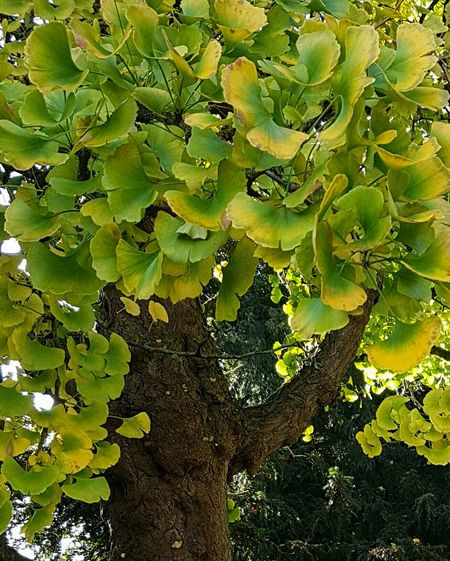 Ginkgo Biloba Maidenhair Tree Japanese Temple Tree Autumn Leaves Ancient Tree Original World Tree Poole, Dorset Poole UK Green Leaves Craggy Bark