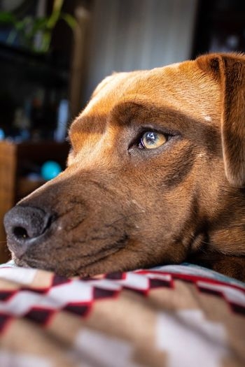 Puppy Sunlight Eyes One Animal Mammal Animal Themes Pets Domestic Dog Canine Domestic Animals Animal Vertebrate Close-up Brown No People Relaxation Looking Away Animal Body Part Looking Animal Head  Focus On Foreground Portrait Capture Tomorrow Moments Of Happiness