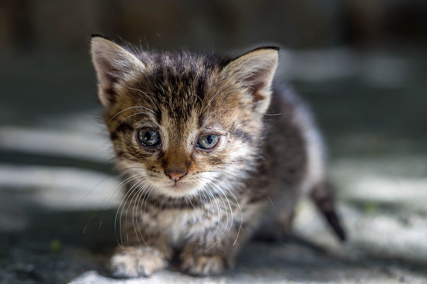 Animal Animal Eye Animal Themes Cat Close-up Domestic Domestic Animals Domestic Cat Feline Focus On Foreground Kitten Looking At Camera Mammal No People One Animal Pets Portrait Selective Focus Vertebrate Whisker Young Animal