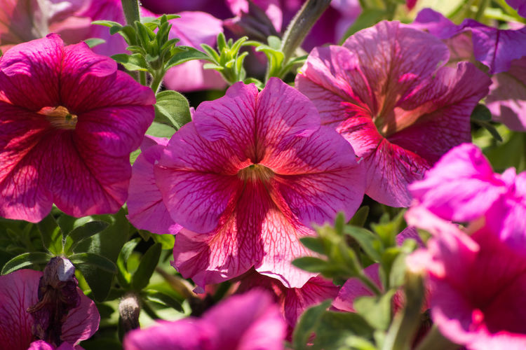 Petunias Petunias In Full Bloom No People Vibrant Color Outdoors Color Flowers Beauty In Nature Beautiful Nature Red Color Beautiful Red Multi Colored Beauty Nature Flower Light