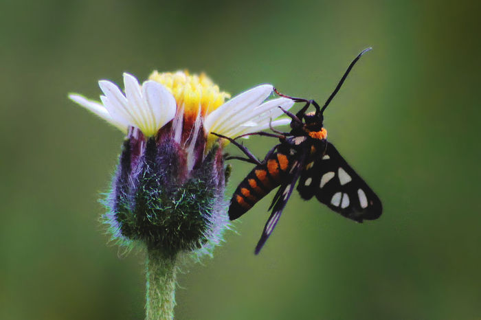 Amata Perching Freshness Macro Photography Nature Tiger Moth Tranquility Animal Themes Animals In The Wild Beauty In Nature Close-up Day Flower Flower Head Fragility Growth Insect Macro Macro_collection Moth Nature_collection No People One Animal Outdoors Petal Plant Pollination