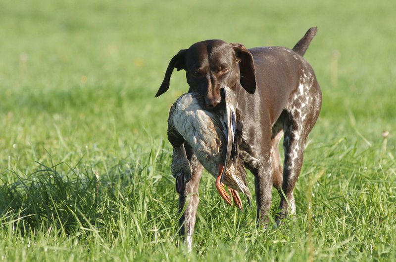 Hunting Duck with dogs in Nunspeet, The Netherlands. Animal Animal Themes Day Dog Domestic Domestic Animals Duck Field Hunt Hunting Hunting Dog Hunting Duck Faces Outdoors