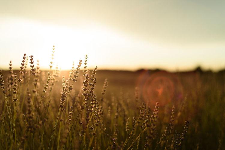 Lavender fields. summer sunset landscape in brihuega, guadalajara
