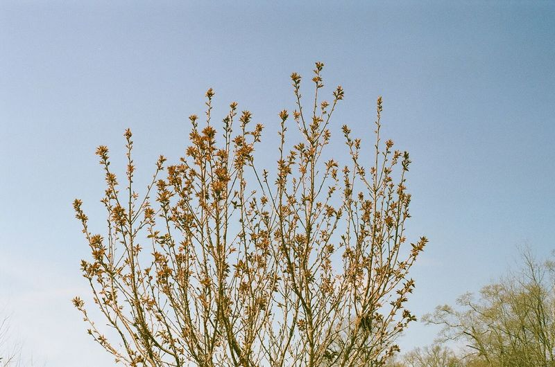 Beauty In Nature Branch Clear Sky Close-up Day Film Photography Filmisnotdead Flower Fragility Growth Low Angle View Minoltasrt202 Nature No People Outdoors Sky Tree