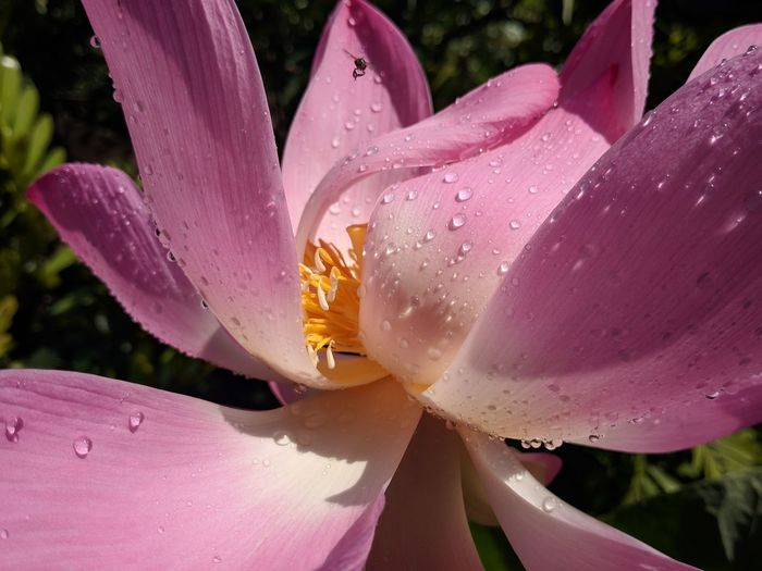 Close-Up Of Raindrops On Pink Lily