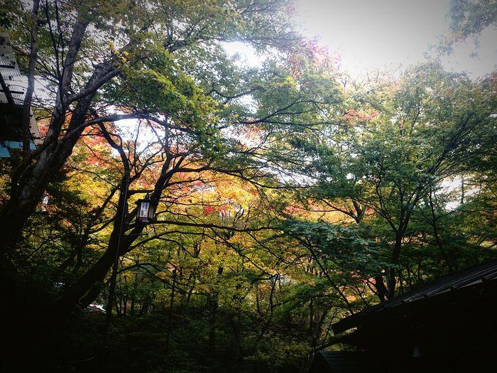 群馬県 伊香保温泉 Tree Nature Outdoors No People Travel Ikaho Japan Photos 伊香保 お出掛け 伊香保温泉 Trip Japan Trip Photo Autumn Leaves Grass Autumn Colors Autum Tree Green